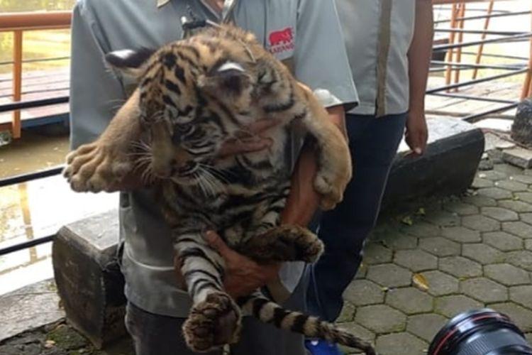 Anak harimau lahir semasa pandemi di Semarang Zoo.