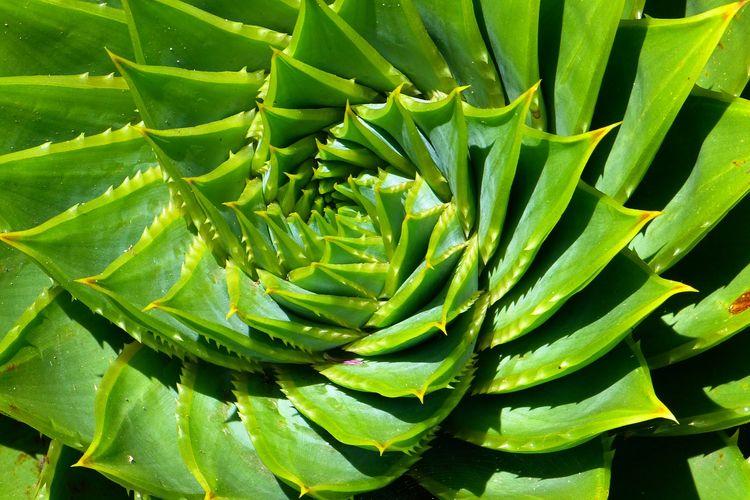 Ilustrasi tanaman lidah buaya spiral (Aloe polyphylla).