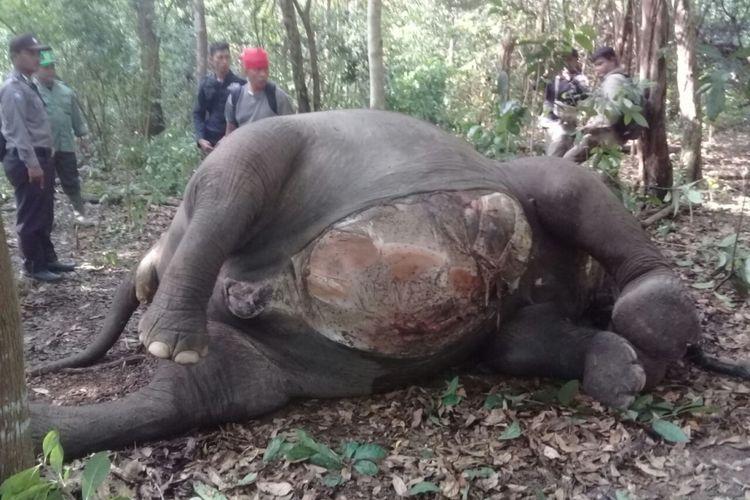Gajah liar di Waykambas ditemukan mati mengenaskan.