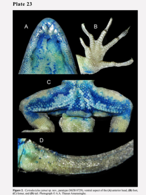 Cyrtodactylus jatnai, aspek ventral dari (A) kepala anterior, (B) kaki, (C) femur, dan (D) ekor.