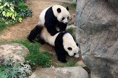 Setelah 10 Tahun, Sepasang Panda Sukses Kawin di Masa Lockdown Corona