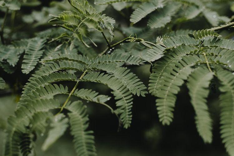 Ilustrasi tanaman pakis boston