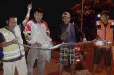 Hendak Mangsa Ayam, Ular Piton 3 Meter Ditangkap Tim SAR