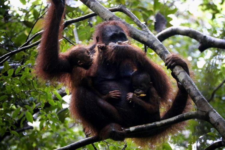 Linda, satu individu orangutan betina dan dua bayi kembarnya tertangkap kamera petugas di kawasan Taman Nasional Tanjung Puting, Kalimantan Tengah, Sabtu (18/7/2020). Potensi kelahiran kembar orangutan Kalimantan hanya 1,2 persen.