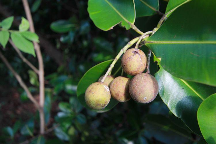 Tanaman Calophyllum inophyllum penghasil minyak tamanu atau tamanu oil