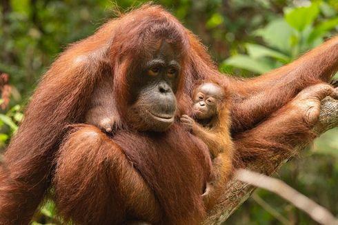 Ancaman Virus Corona Bagi Kehidupan Orangutan di Indonesia