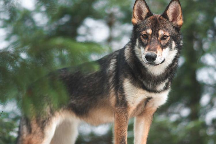 Ilustrasi anjing Saarloos wolfdog