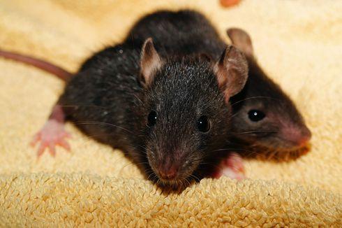 Cara Ampuh Cegah Tikus Masuk ke Rumah, Mudah Tanpa Noda Darah