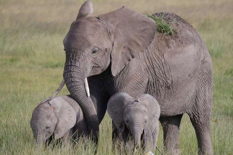 Gajah kembar terlihat di Taman Nasional Minneriya, Sri Lanka