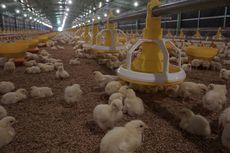 Mahasiswa IPB Racik Jamu Herbal untuk Ayam Broiler