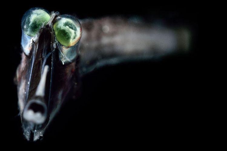 Salah satu yang hidup ikan di laut dalam.