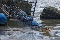 Tak Kunjung Ditangkap, Buaya Berkalung Ban di Sungai Palu Muncul Lagi, Ini Penampakannya