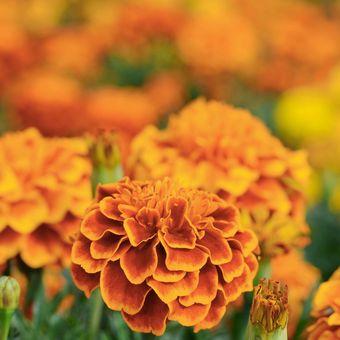 Ilustrasi warna marigold