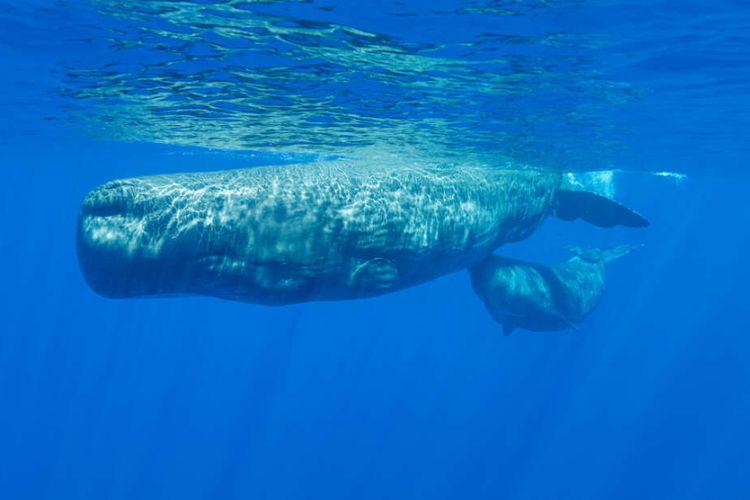 Induk paus sperma bersama dengan anaknya