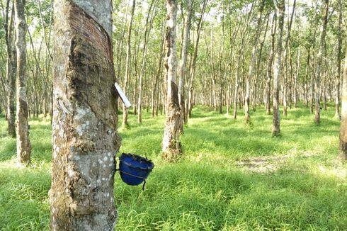 382.000 Hektar Kebun Karet di 6 Provinsi Terkena Wabah Penyakit