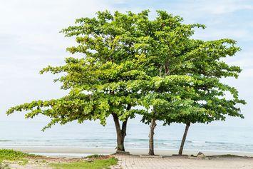Pohon Ketapang, Pohon Teduh dengan Segudang Manfaat