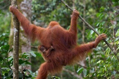 BKSDA Evakuasi Orangutan yang Masuk Perkebunan di Langkat
