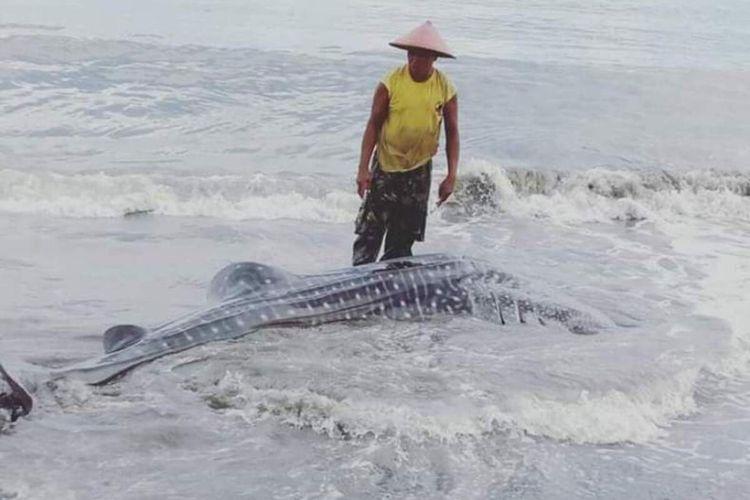 Seekor hius paus dengan panjang lebih dari 3 meter terdampar di pantai Desa Kayeli, Kecamatan Teluk Kayeli, Kabupaten Buru, Maluku, Minggu (19/1/2020)