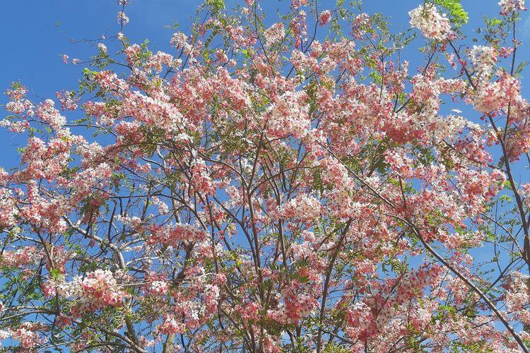 Keindahan bunga sakura di Kampung Maudolung, Desa Hambapraing, Kecamatan Kanatang, Kabupaten Sumba Timur, Nusa Tenggara Timur (NTT), Jumat (23/10/2020).