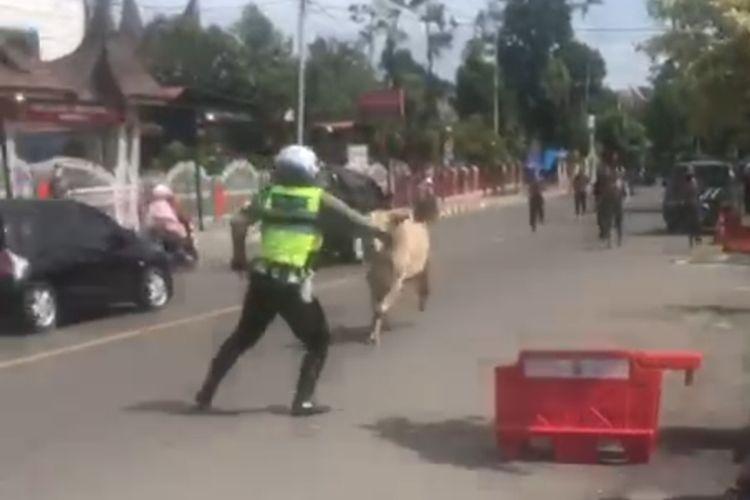 Seorang polantas mencoba menghadang sapi kurban yang kabur ke jalan raya di Bukittinggi, Selasa (20/7/2021)