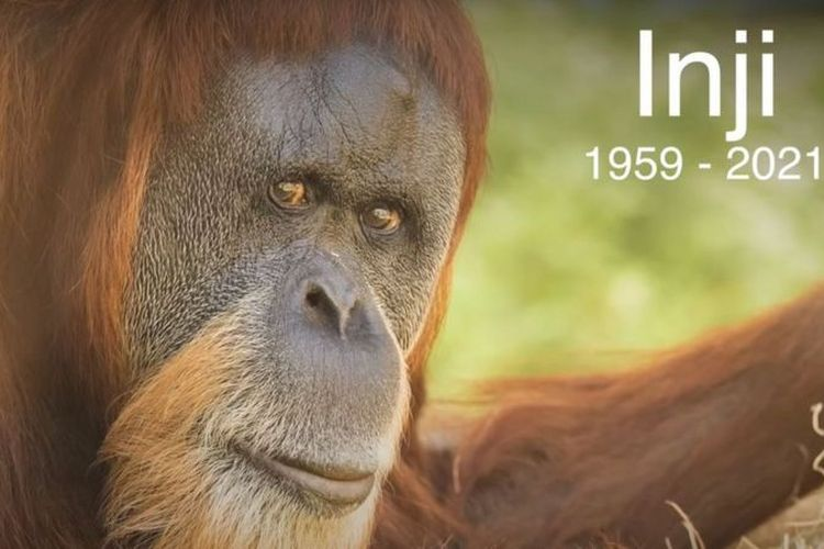 Oregon Zoo mengunggah video di media sosial untuk mengenang Inji, orangutan tertua di dunia yang disuntik mati karena sakit.