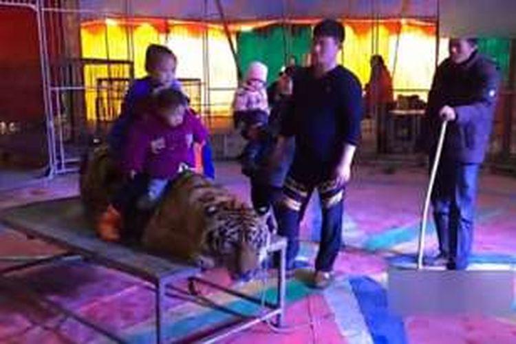 Anak-anak pengunjung sebuah sirkus di China terlihat menunggangi seekor harimau amur yang langka sementara sang pawang berdiri mengawasi.