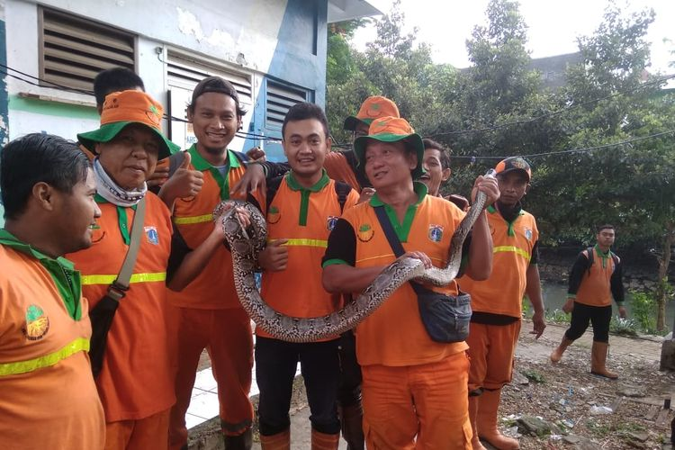 Petugas UPK Badan Air memamerkan ular sanca  yang ditemukan di aliran Banjir Kanal Barat dekat RPTRA Kalijodo, Jakarta Barat, Sabtu (16/3/2019).