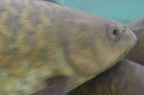 Menjala Untung dari Budidaya Ikan Dewa