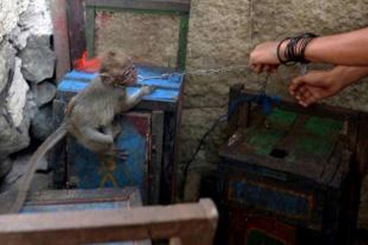 Seorang pria meletakkan monyet untuk atraksi topeng monyet, di kandang kayu kecil di sebuah permukiman kumuh di Jakarta, 24 Oktober 2013. Pemerintah provinsi DKI Jakarta melarang keberadaan topeng monyet di Jakarta pada 2014.