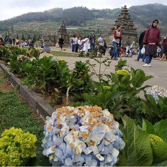 Bunga Panca Warna yang kering di Dieng akibat fenomena embun upas.