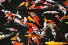 Peternak Ikan Koi Kebanjiran Pesanan Saat Imlek