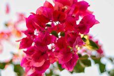 10 Tanaman Hias Bunga yang Aman untuk Penderita Alergi