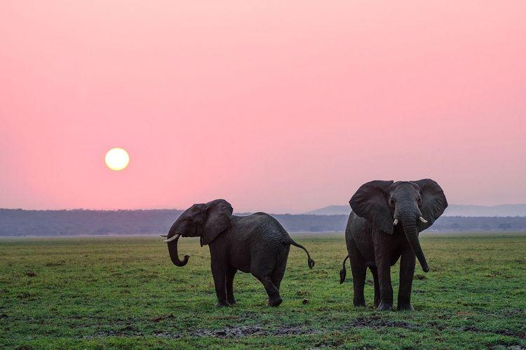 Ilustrasi Gajah Sumatera.