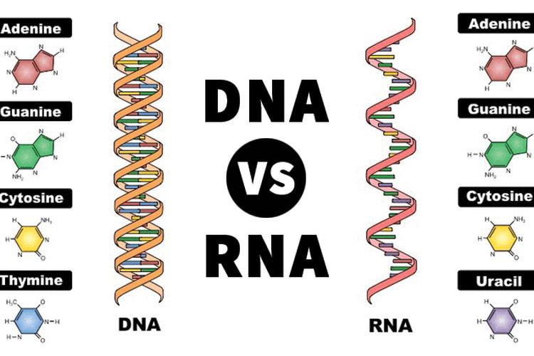 Sebuah perbandingan antara DNA dan RNA.