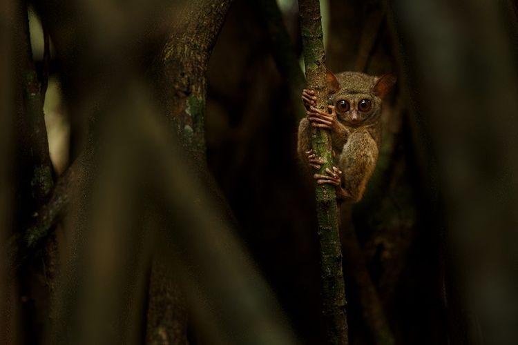 Tarsius, primata terkecil di dunia DOK. Shutterstock