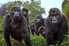 Tertangkap Kamera, Gorila Makan Sambil Bernyanyi dan Kentut