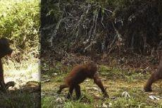 Habitat Berubah, Orangutan Kalimantan Turun dari Pohon