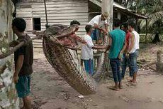 Warga Riau Masuk RS karena Piton 7 Meter, Ini Pelajaran Buat Kita