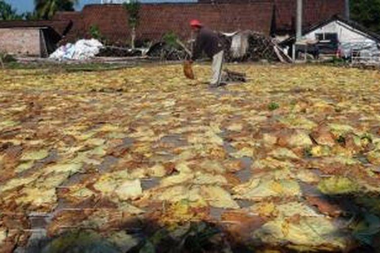 Petani tembakau di Kabupaten Jember, Jawa Timur, sedang menjemur tembakau mereka. Mereka mengeluhkan pemilik gudang yang tidak segera melakukan pembelian tembakau, Sabtu (23/8/2014).