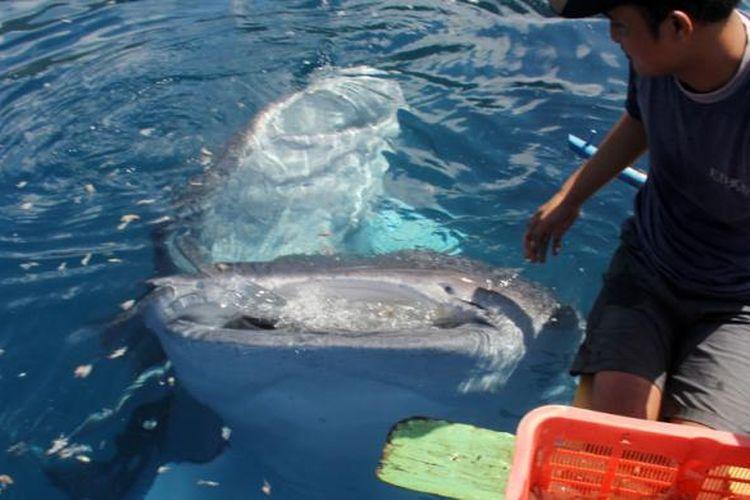 Dua ekor hiu paus (whale shark) sedang menikmati kulit udang yang diberikan nelayan di pantai Botubarani, Kabupaten Bone Bolango.