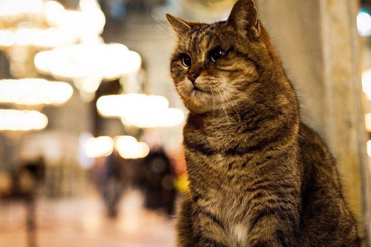 Gli, kucing penghuni Hagia Sophia Turki selama 14 tahun.