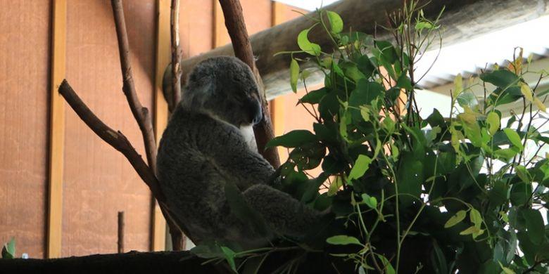 Koala di Paradise Country, Gold Coast, Australia