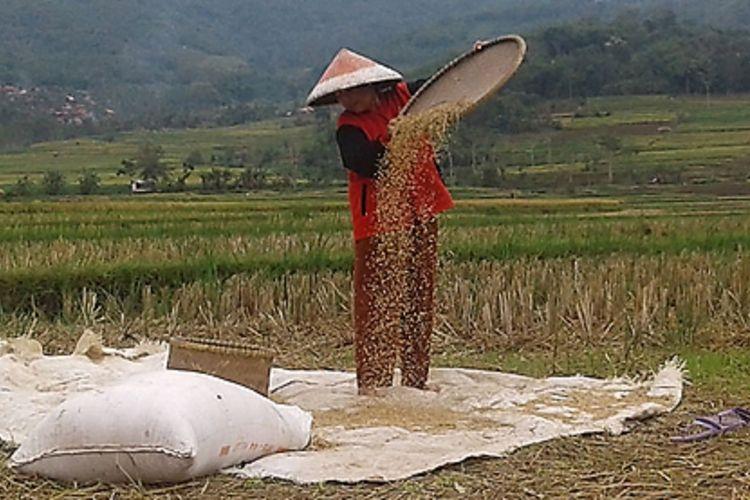 Petani tengah memisahkan gabah kering hasil panennya di sawah. Lahan pertanian di wilayah pantura Jawa Barat mengalami kekeringan lebih cepat dibandingkan wilayah lainnya. Memasuki musim kemarau, Indramayu dan Cirebon pada umumnya mengalami kekeringan lebih awal.