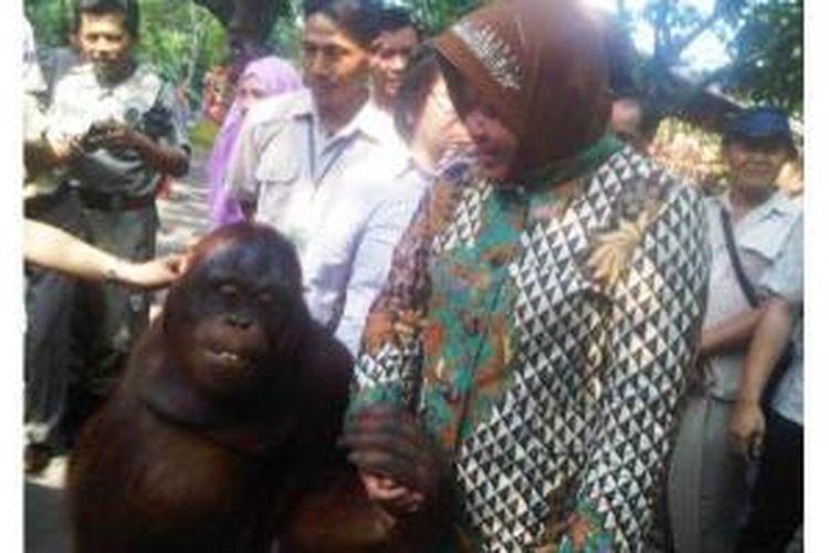 Wali Kota Surabaya, Tri Rismaharini digandeng oleh Sinyo, salah satu orangutan koleksi Kebun Binatang Surabaya (KBS), saat menemani sejumlah peserta seminar KBS mengelilingi kebun binatang yang berlokasi di tengah kota tersebut, Rabu (26/3/2014).