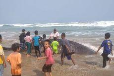 Hiu Sepanjang 7 Meter Ditemukan Terdampar di Perairan Lebak