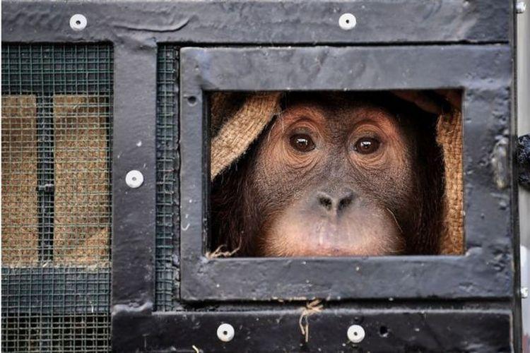 Seekor orangutan Sumatera korban penyelundupan satwa liar melihat dari dalam kadang saat hendak dipulangkan dari Thailand ke Indonesia di Bandara Suvarnabhumi, Bangkok, pada Kamis (17/12).