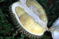 Nikmatnya Durian Lokal Asli Pekalongan, Berwarna Kuning, Daging Tebal yang Melekat di Mulut