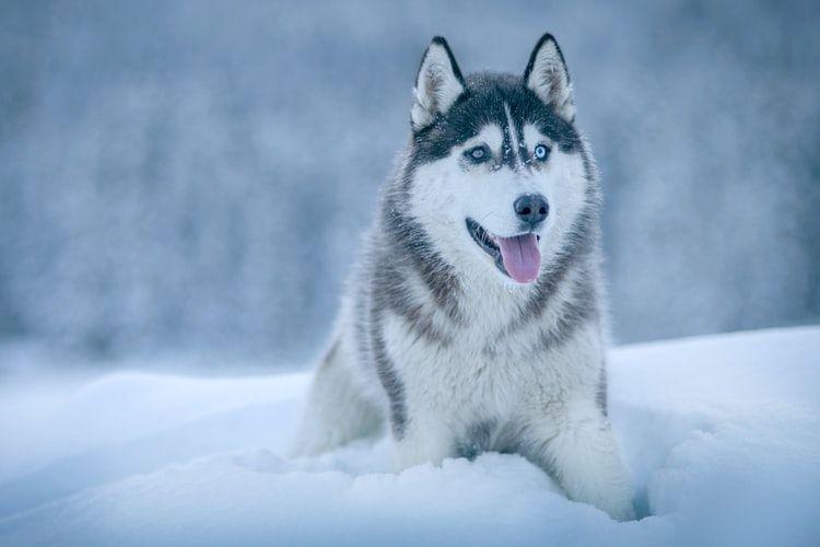 Ilustrasi anjing Siberian husky