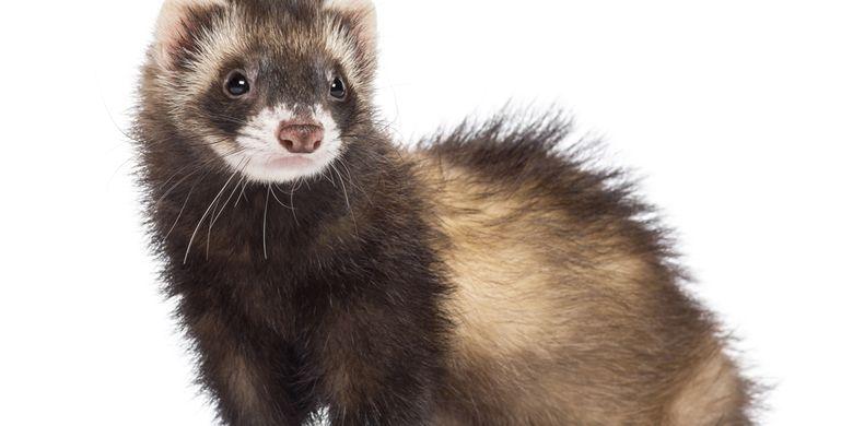 Ferret, hewan yang direkomendasikan WHO untuk menguji vaksin atau obat-obatan yang berkaitan dengan saluran pernapasan.