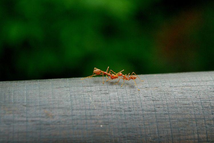 Gigitan semut merah bisa berbahaya bagi kucing.